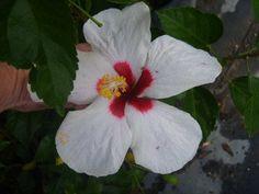 HAWAIIAN DOT Tropical Hibiscus Live Plant Single Pinwheel Flower White Red Throat Melba White Wings Emerald TMEmerald TM