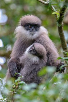 Primates, Mammals, Beautiful Creatures, Animals Beautiful, Monkey Habitat, New World Monkey, African Grey Parrot, Animal Habitats, Wild Birds