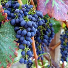 Vineyard -- Wine Couple of www.hobbycouple.com