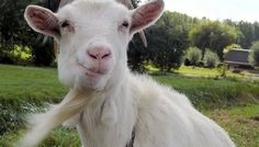 Don't underestimate goats: They're more than cute--they're smart
