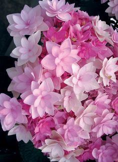 "gorgeouse double hydrangea...... ""you-me passion"""