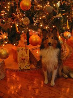 Sheltie under Christmas tree