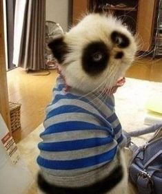 ohhh i would die! i love pandas! and i love cats! who wouldnt love a panda cat Animals And Pets, Baby Animals, Funny Animals, Cute Animals, Crazy Cat Lady, Crazy Cats, I Love Cats, Cute Cats, Photo Chat