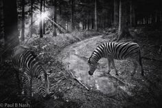 Zebras in the woodsPaul B Nash Photography  http://paulbnashphotography.com/shop/zebras-in-the-woods http://paulbnashphotography.com