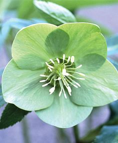 ♥  Hellebores are always the first sign of spring! This green variety is lovely and unusual. Plant them now for spring color!