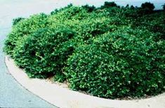 Picture of Dwarf Yaupon Holly. Maybe in front of you front living room window. Very prickly - keep intruders away. CCould do a taller holly in front of your bedroom window.