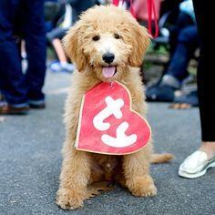 Hudson, Goldendoodle, Tompkins Square Park Halloween Dog Parade, New York, NY @hudsonthegoldendoodle