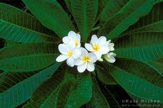 Plumeria flowering in Nahiku along the road to Hana, Island of Maui, Hawaii USA