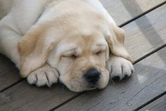 yellow Labrador Retriever puppy via Devonshire Labradors