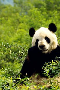 Pandas. That's all. Pandas. THEY ARE SOOOOO CUTE!!!!!!!!!!!