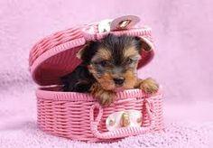 Resultado de imagen de yorkshire terrier