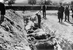 Dead horses are buried in a trench after the Battle of Haelen which was fought by the German and Belgian armies on August 12, 1914 near Haelen, Belgium. Horses were everywhere in World War I, used by armies, and caught up in farm fields turned into battlefields, millions of them were killed.
