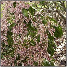 Love my Pieris japonica. It's a great shade shrub.