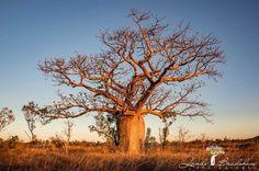 Who loves boabs?!?!... Me! Wyndham this arvo :) #thekimberleyaustralia #australiasnorthwest #justanotherdayinwa #kimberleybucketlist #australia #westernaustralia #eastkimberley #boab #boabtree #nature #earthpix #weareexplorers #thisiswa #seeaustralia #natureaddict #nakedplanet #trees #canon_photos #landscapephotography #abcmyphoto #visitkununurra #landibradshawphotography