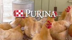 How to setup a chick brooder: Give your chicks a comfortable first home and a strong start with tips from Team Purina. In this video, you'll learn how to setup the brooder before chicks arrive, including: Which bedding is best for chicks, the temperature chicks need, chick feeders and chick waterers, how to keep the brooder clean and what to feed baby chicks.