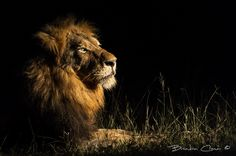 Lion in the Darkness by Brendon Cremer on 500px