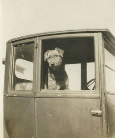 """ORIGINAL PINNER SAYS: When my grandma was a girl (in the early she said that someone in her small town got a purebred Airedale and that dog was the """"talk of the town."""" Airedales were quite popular in the Airedale Terrier, Terrier Dogs, Terriers, Dog Photos, Dog Pictures, Black And White Dog, Cat Drinking, Large Dog Breeds, Wild Dogs"""