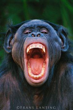 Frans Lanting - Bonobo grimacing, Pan paniscus, Native to Congo (DRC)
