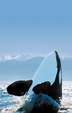 go whale watching in Victoria BC www.tourismvictoria.com