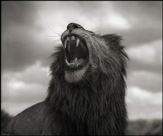 artnet Galleries: Lion Roar, Maasai Mara by Nick Brandt from HASTED KRAEUTLER