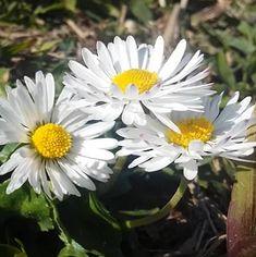 Sedmikráska a její účinky na zdraví | Rehabilitace.info Plants, Plant, Planets
