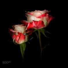 ALL WE NEED IS LOVE… ROSES by Magda Indigo on 500px
