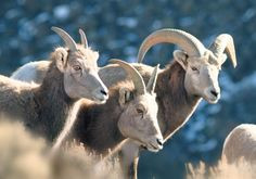 A family of big horn sheep in the Río Grande Gorge. Photo by Geraint Smith, geraintsmith.com
