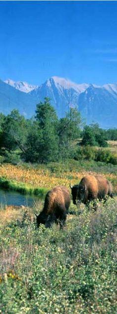 National Bison Range, Montana | glaciermt.com https://www.etsy.com/listing/155451946/funny-mug-aquarius-zodiac-mug-rude-cuppa?ref=shop_home_feat