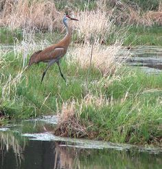 sandhill crane  they migrate to our area in northern Wisconsin to nest and raise the young, eating out in our fields