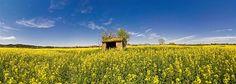 Primavera a l'Empordà. Camps de colza