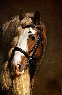 Bay-based silver dapple elite Gypsy Vanner stallion, Bullet. Portrait.