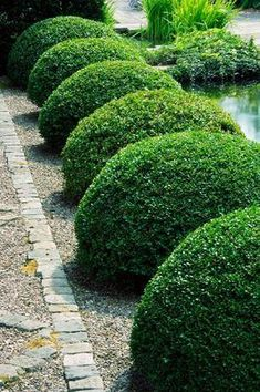 The simple elegance of Boxwood Topiary Balls lining a beautiful pathway. Boxwood Garden, Topiary Garden, Garden Shrubs, Lawn And Garden, Garden Landscaping, Boxwood Topiary, Garden Path, Garden Edging, Formal Gardens