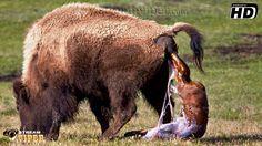 #Bison Giving Birth Live! - (Rare Sighting!)