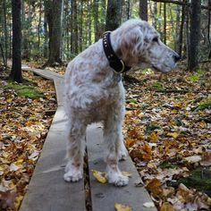 Vicky ~ English Setter Pup ~ Classic Look