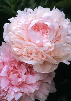 "Myrtle Gentry by purepeonies: LARGE PINK to WHITE DOUBLE; Myrtle Gentry has a Delicious ""Tea Rose"" Fragrance & is a ""Chameleon"" in that it Blooms as a Very Light Pink that Fades to Almost Pure White. #Peony"