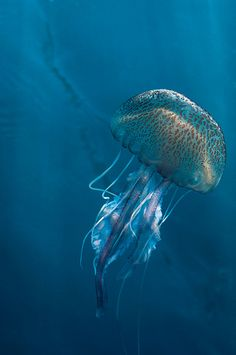 Jellyfish on Blue by Azur-Diving.com, via Flickr