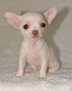 Pui Chihuahua de vanzare