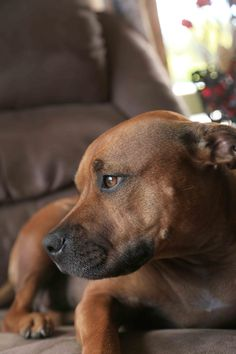 Lexy, #Staffordshire #Terrier, very relaxed