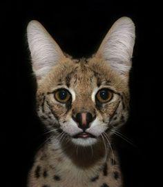 El serval ('Leptailurus serval'), un felino que alcanza los...