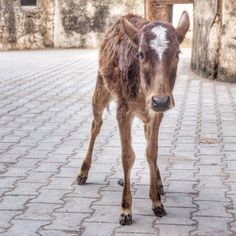 Cows are everywhere in India... on the side of the road, in markets and even in the middle of the road. , just sitting or standing there as people drive around them. This little one followed me around the Raj Mahal palace in Orchha for a little while. Photo by Andrea Rees.