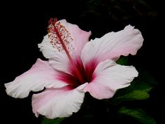 HIBISCUS | Flickr - Photo Sharing!