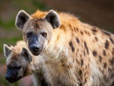 Know Our Stars: Hyenas | Busch Gardens Tampa Bay