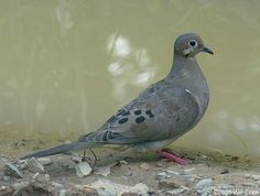Mourning Dove.  We have a lot of these where I live and they are very funny when they try to get ON our feeders!