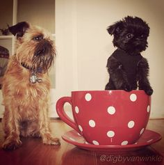 These 2 Brussels Griffon are so incredibly cute!!