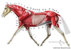 Veterinary anatomical chart showing the lateral view of the equine deep musculature in a horse while it is trotting.