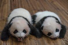 Los dos primeros gemelos de 2017, nacidos de la panda Zhizhi el 24 de abril.