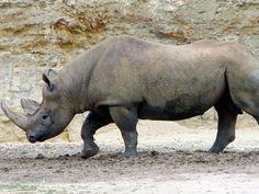 La Lista Roja de las Especies Amenazadas elaborada por la Unión Internacional para la Conservación de la Naturaleza (UICN) declaró oficialmente extinto en 2011 al rinoceronte negro de África occidental (Diceros bicornis longipes).