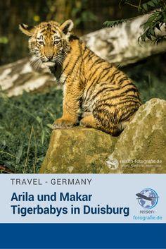 Makar und Arila – sind die Namen der kleinen Tigerbabys in Duisburg.  Die Kleinen erleben jeden Tag neue spannende Dinge. Bei unserem Besuch konnten wir die Überquerung eines reissenden Flusses, ein Vollbad und eine Menge anderer Spielereien beobachte. Und wir verraten Euch, wie ihr die beiden kleiner Tiger auseinander halten könnt.