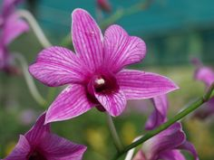 orchidée violette - ile de la réunion - océan indien
