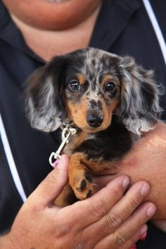 My dream dog, a dapple dachshund. I will own one of these. Seriously, is that not the sweetest little face you've ever seen?